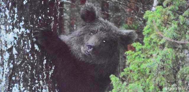 Медведица Машка на дереве, фото жительницы Вокнаволока Л.Гармуевой (2013 год)