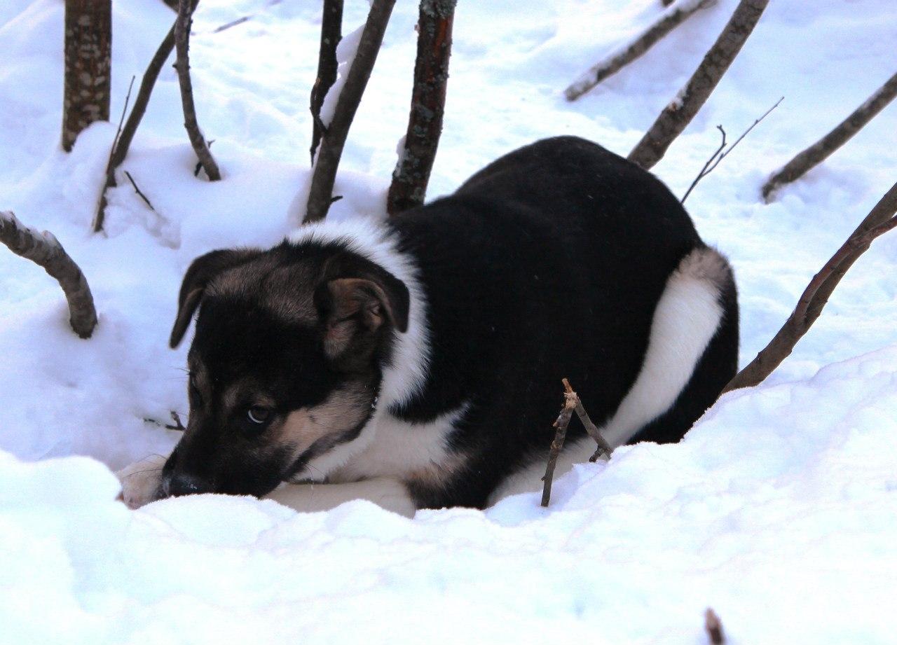 собака в Костомукше