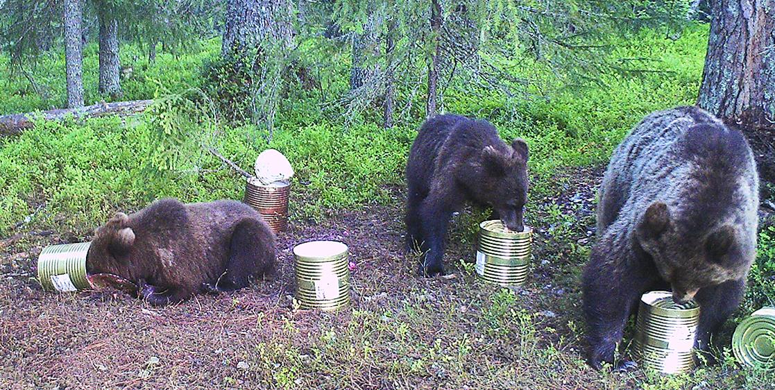 Медведи сжат