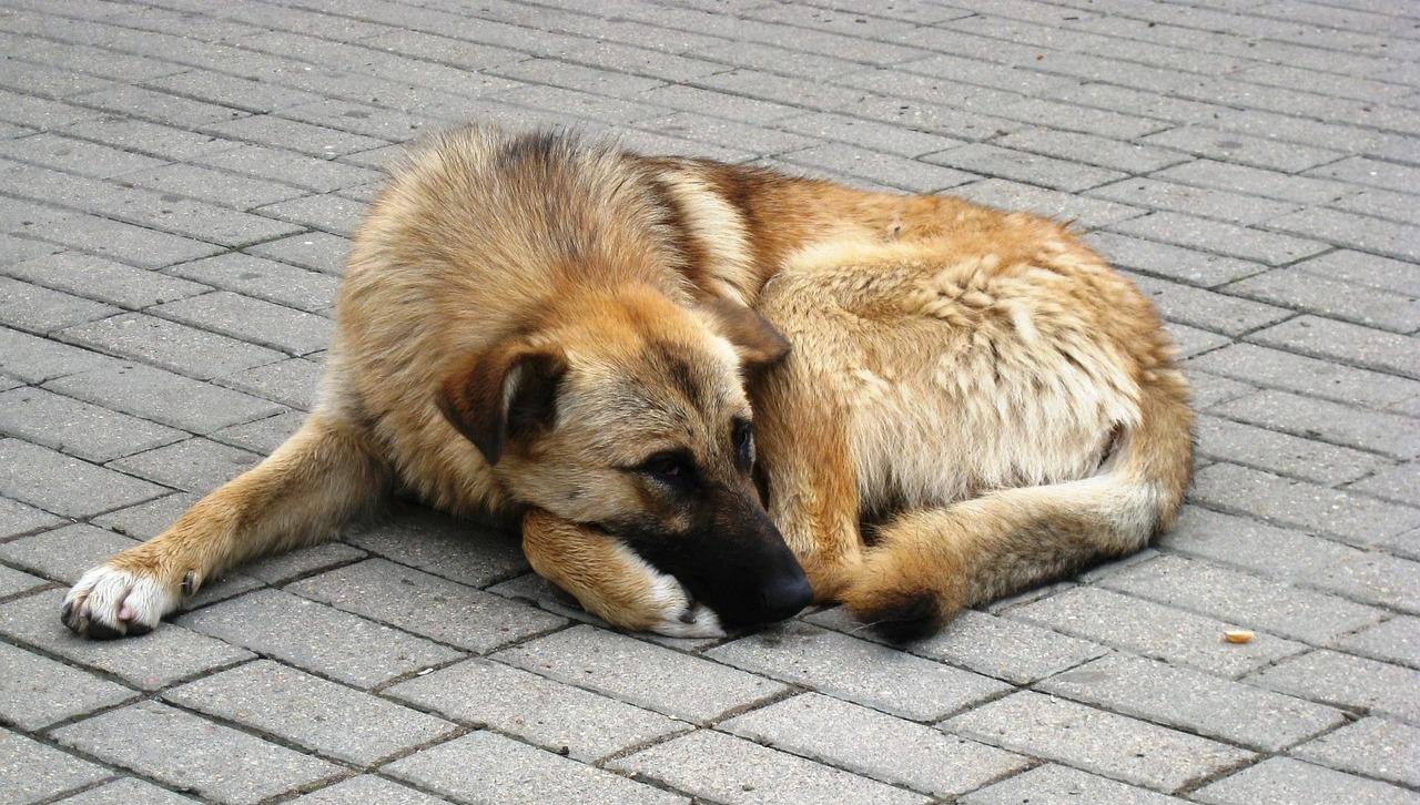 бездомная собака пиксабай