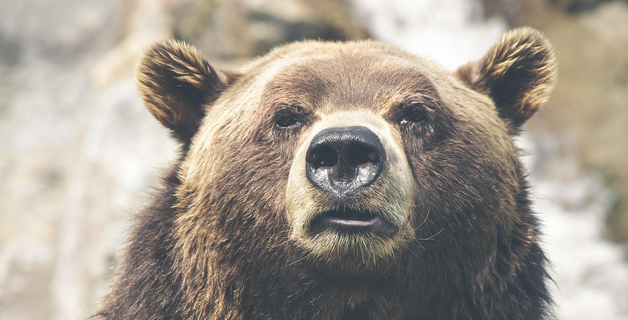 медведь пиксабай