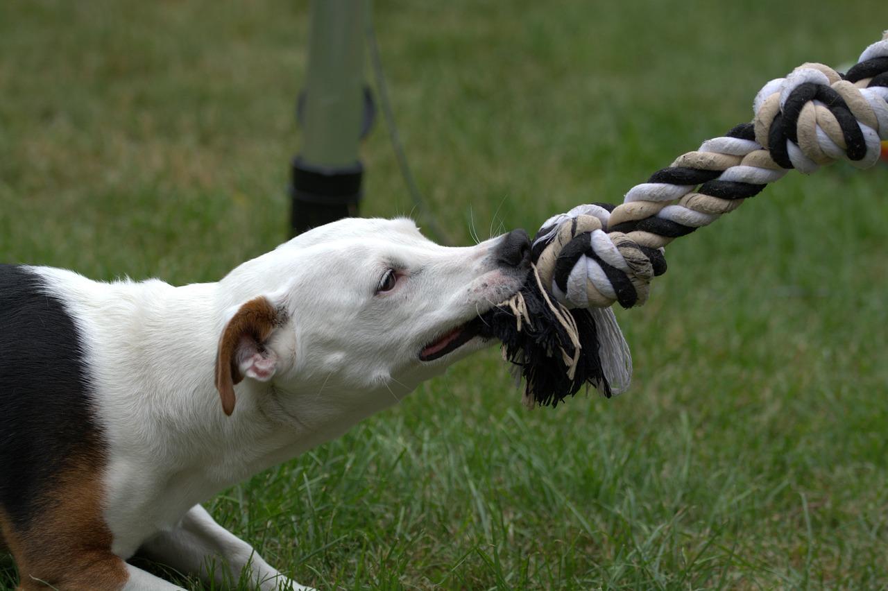 собака Пиксбэй