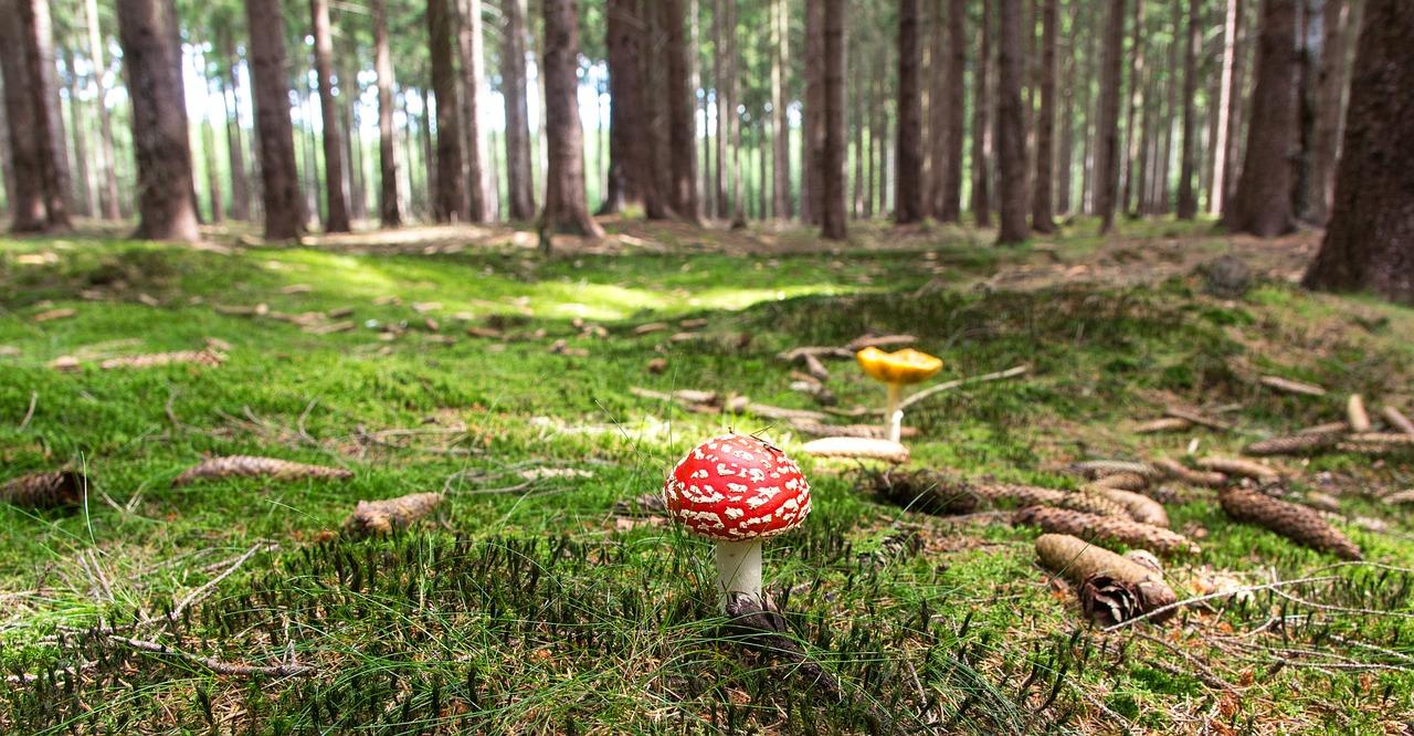 лес гриб мухомор Пиксбэй