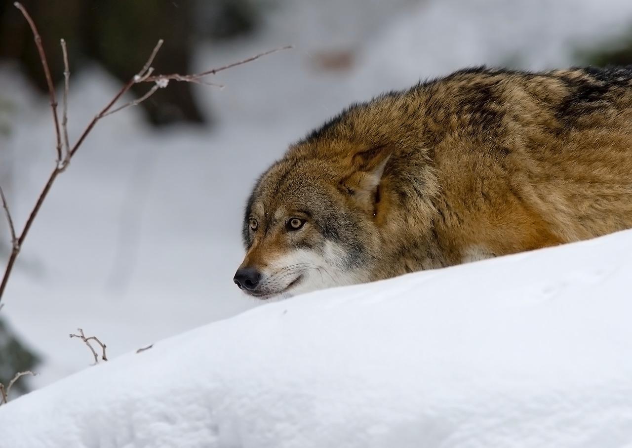 волк зима Пиксбэй