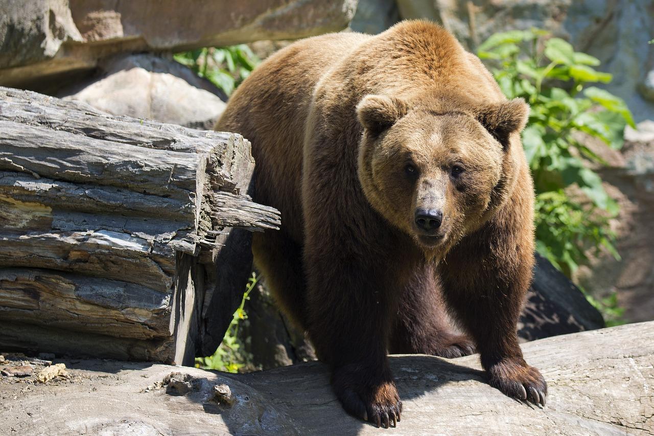 бурый медведь пиксабай