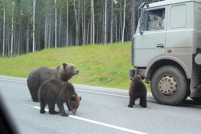 медведи Кола МЧС