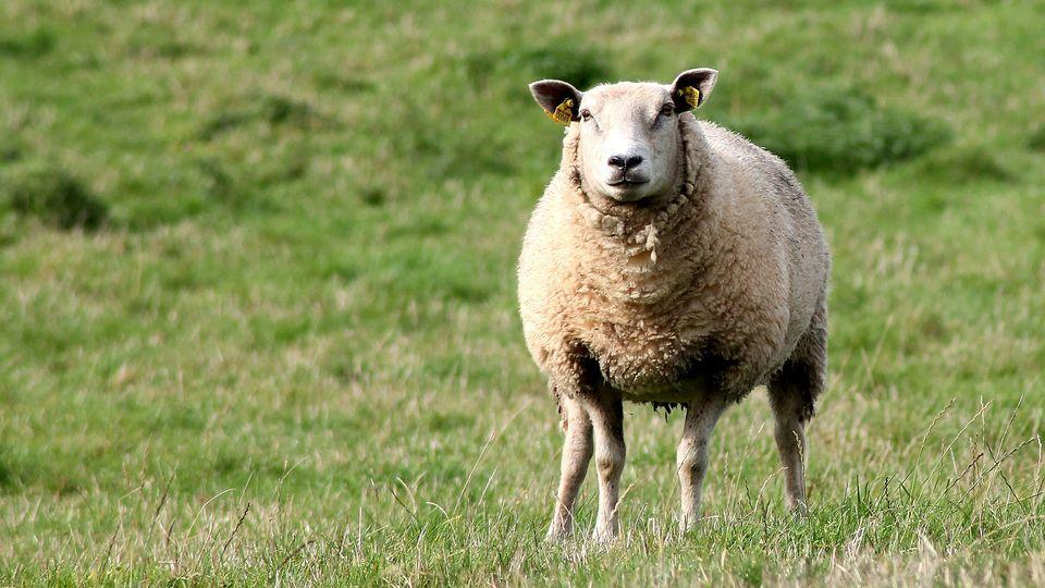 овца Юле