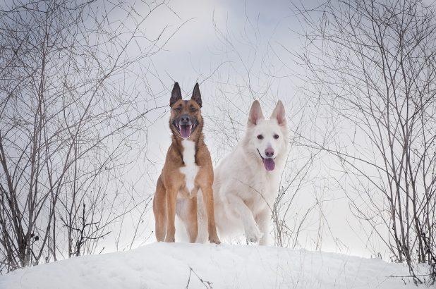 собаки пиксабей