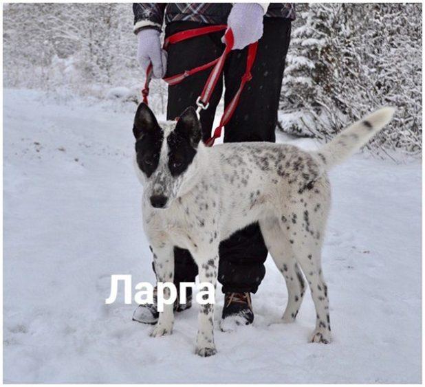 Такие уникальные собаки встречаются в приюте. Полистав атлас собак, волонтеры решили, что это австралийская пастушья собака.