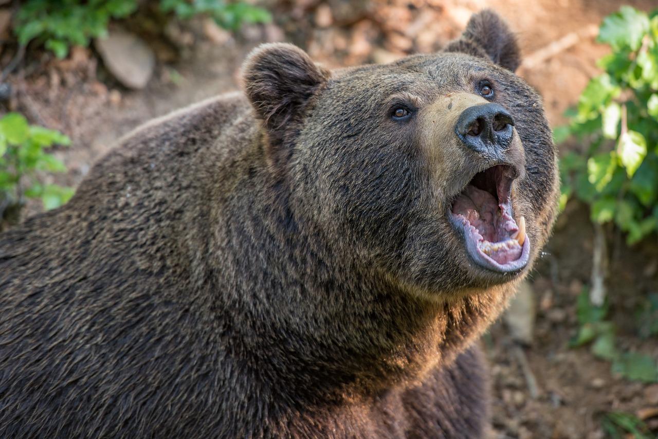 медведь пиксабей