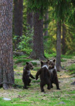 kertakayttooikeus-valtteri-mulkahainen-karhunpennut