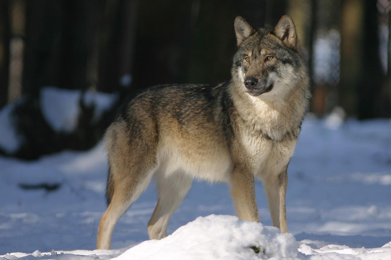 волк пиксабей