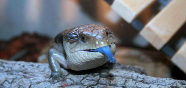 Ящерицу синеязыкого сцинка зовут Тюбиком
