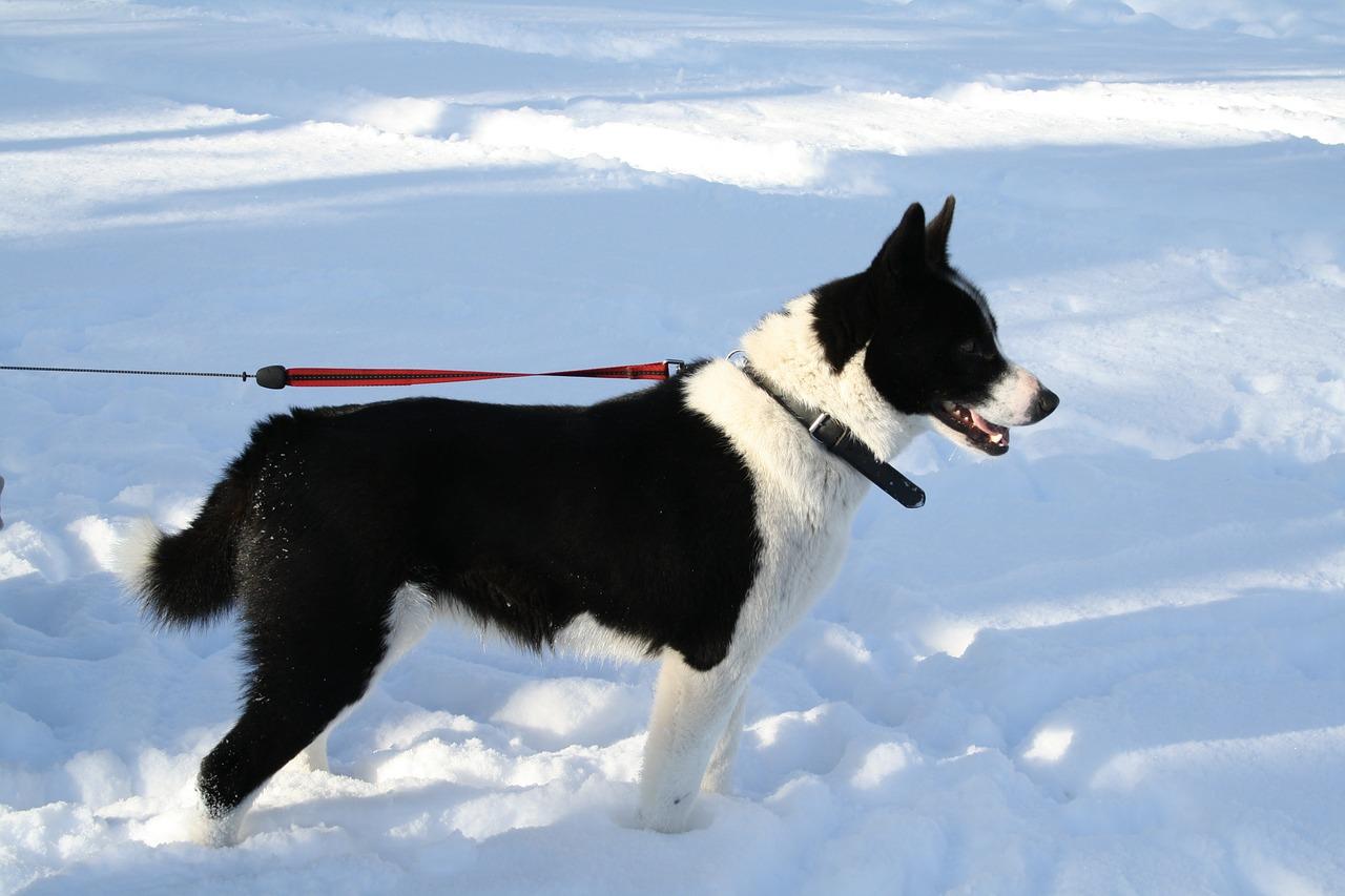 карельская медвежья собака пиксабей