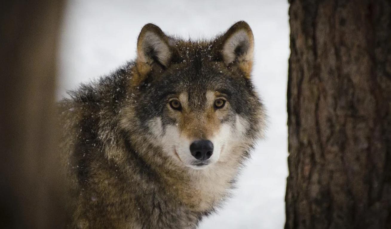 волки, Костомукша, Вокнаволок, pixabay