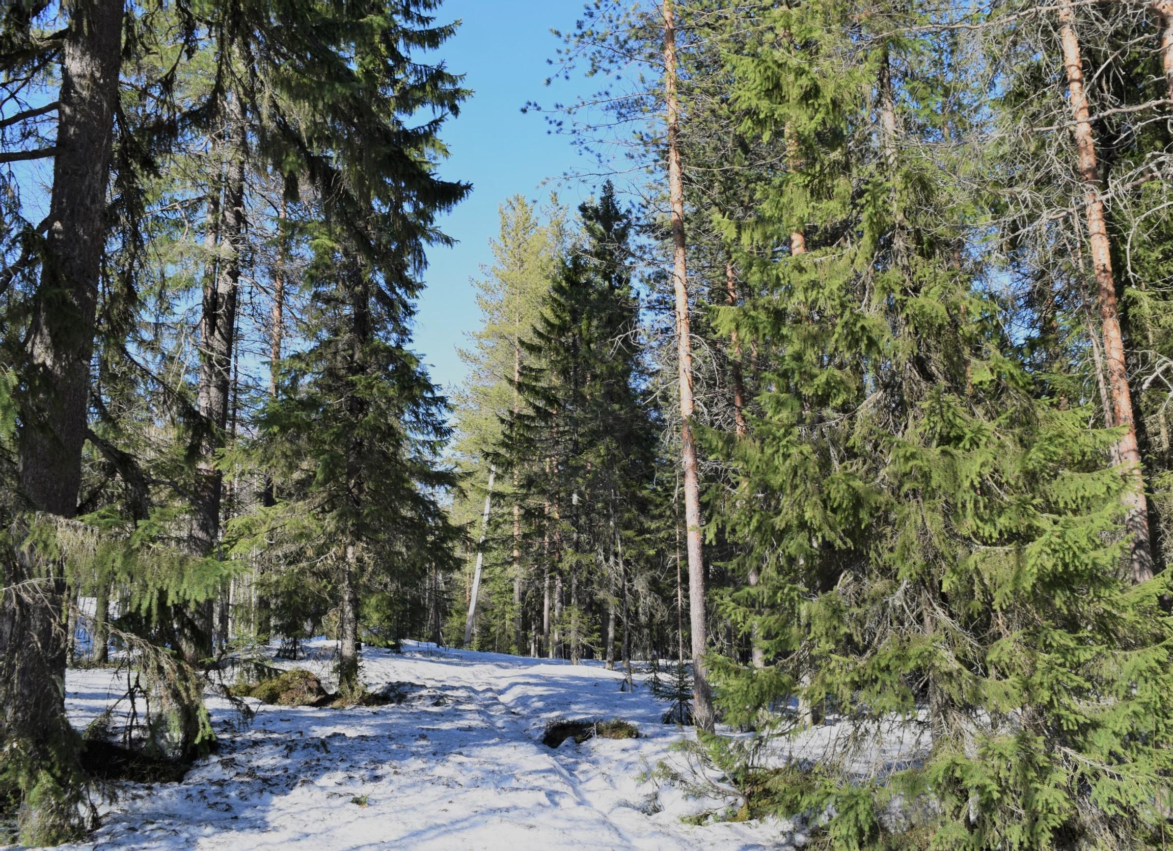 Костомукша лес